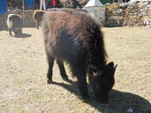 bébé yak :D