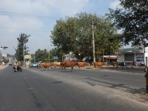 Les vaches qui traversent la route