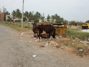 les vaches qui mangent dans les containers.... ça fait sourire mais jaune!